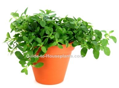growing oregano, oregano plant, how to grow oregano