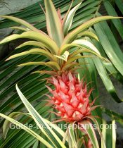 pineapple plant, growing pineapple plants, pineapple plant care, variegated pineapple