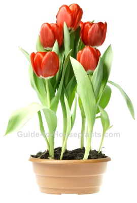 growing tulips, forcing tulip bulbs, potted tulips, how to force tulips