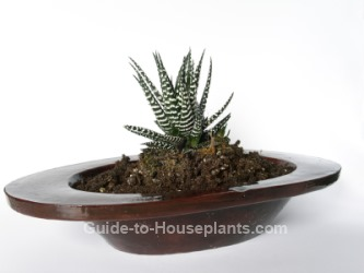 haworthia, succulent house plant, haworthia indoors, haworthia care, growing haworthia
