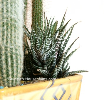 haworthia, haworthia care, growing haworthia indoors, haworthia houseplant, succulent dish garden