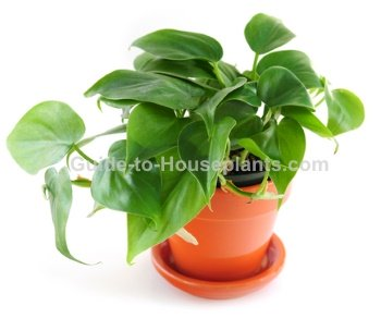 heartleaf philodendron, common house plant