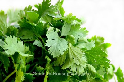 how to grow cilantro, cilantro plant, growing cilantro