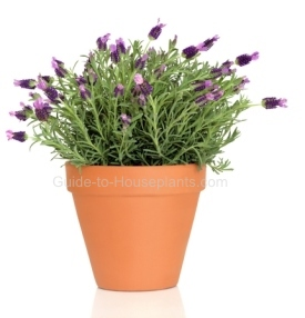 How To Grow Lavender Growing Plant Care