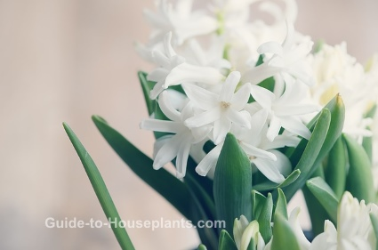 hyacinth flower, forcing hyacinth, fragrant house plant
