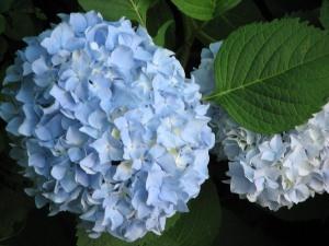 hydrangea care, growing hydrangeas, how to grow hydrangeas