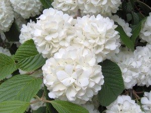 hydrangea care, growing hydrangeas, how to grow hydrangeas