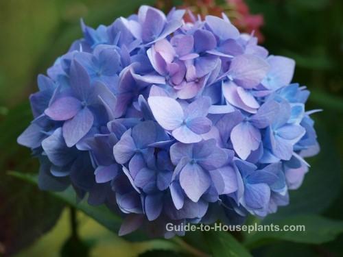 hydrangea care, growing hydrangeas, mophead hydrangea, blue hydrangea