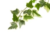 ivy plant care, growing english ivy, growing ivy