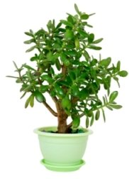 jade plant, jade plant care. succulent house plants, crassula ovata