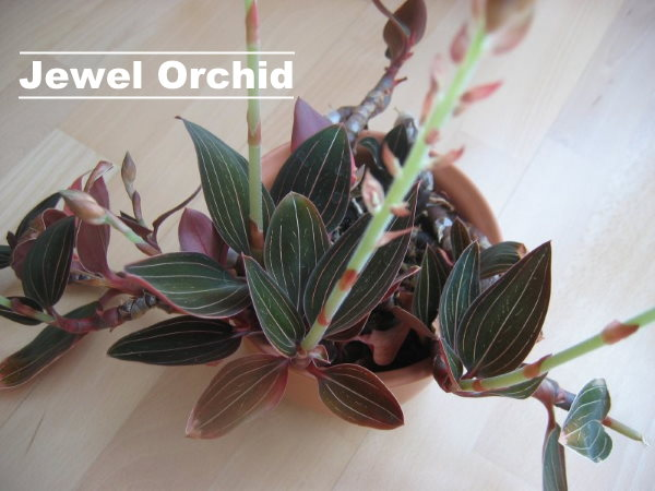 jewel orchid, Ludisia discolor, orchid houseplant