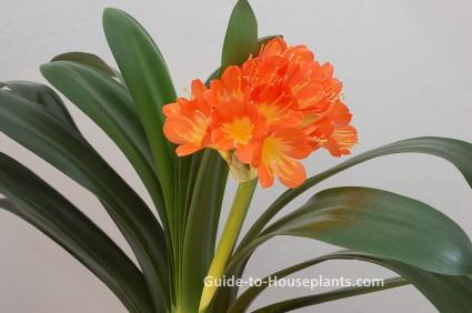 kaffir lily, clivia miniata, clivia, flowering house plant