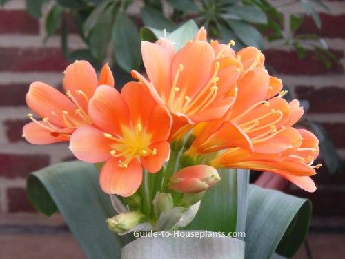 kaffir lily, clivia miniata, clivia