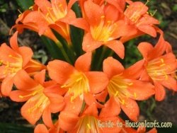 kaffir lily, flowering indoor plants, types of lily flowers, clivia