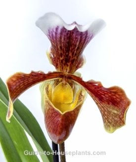 lady's slipper orchid, exotic orchids, growing orchids, exotic house plant
