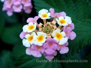 lantana flowers, growing lantana plant, lantana camara