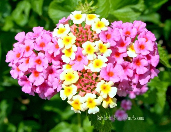 lantana plants, flowers lantana, Lantana camara