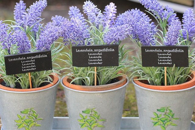 how to grow lavender, growing lavender, lavender augustifolia