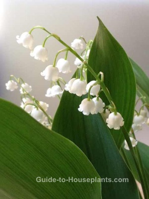 lily of the valley, lily of the valley flowers, growing lilies of the valley