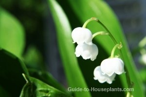 lily of the valley flowers, growing lilies, lily of the valley plants