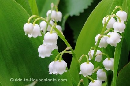 lily of the valley flowers, growing lilies, lily of the valley plants, fragrant house plant