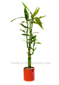 Lucky Bamboo House Plants - Dracaena sanderiana Care Tips, Pictures