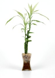lucky bamboo, dracaena sanderiana, bamboo house plants, growing bamboo, bamboo care house plant, bamboo plants