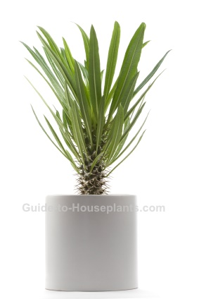 Madagascar Palm - Pachypodium lamerei Care Tips, Picture on