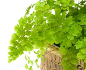 maidenhair fern, types of ferns, indoor ferns