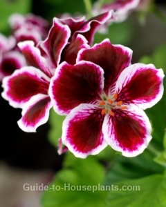 martha washington geranium, pelargonium domesticum, growing geraniums indoors