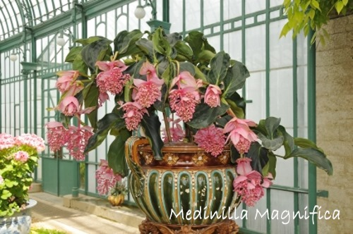 medinilla magnifica, medinilla, rare tropical flowers