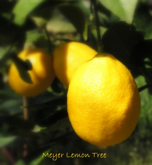 meyer lemon tree, meyer lemon, citrus tree care, dwarf meyer lemon
