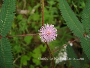 mimosa pudica, sensitive plant
