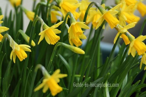 growing daffodils, forcing daffodils, daffodil care, miniature daffodils