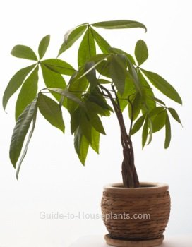 money tree plant, money tree plant care,Pachira aquatica