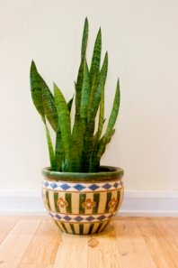 mother-in-law's tongue, snake plant, sansevieria, common house plants, succulent house plants