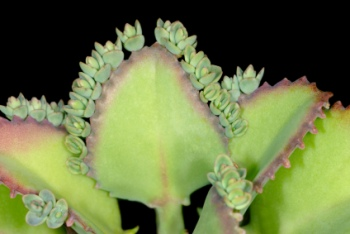 mother of thousands, mother of millions, kalanchoe daigremontiana