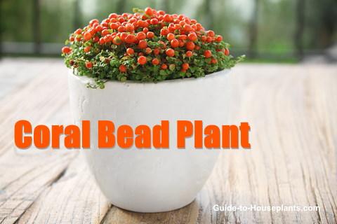 nertera granadensis, coral bead plant