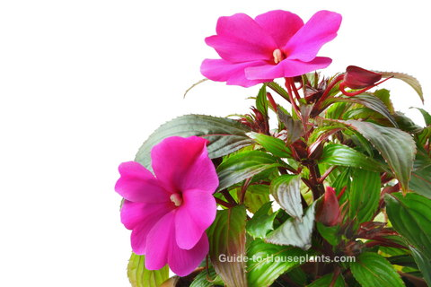 new guinea impatiens, growing impatiens, care for impatiens