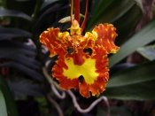 oncidium orchid, indoor orchids, oncidium papilio