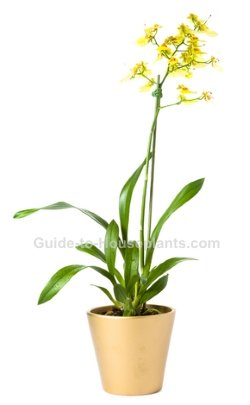 oncidium orchid, dancing lady orchid, oncidium orchid care, orchid care tips