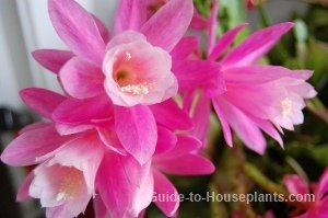 orchid cactus, rare tropical flowers, tropical cactus