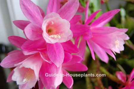 orchid cactus, orchid cactus care