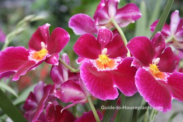 miltoniopsis orchids, fragrant orchid, pansy orchids