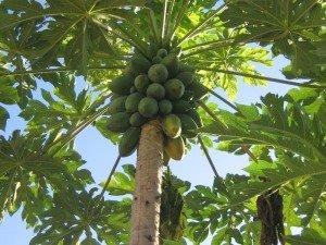 papaya tree, dwarf citrus tree, papaya plant, grow papaya