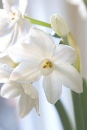 paperwhites, paperwhite flowers