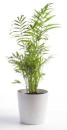 parlor palm, chamaedorea elegans, palm house plant