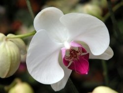 caring for orchids, phalaenopsis orchid