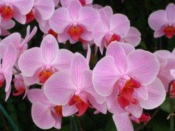 phalaenopsis orchid care, phalaenopsis, moth orchids, growing orchids indoors