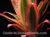 pineapple plant, growing pineapple plants, pineapple plant care, Ananas comosus, variegated pineapple